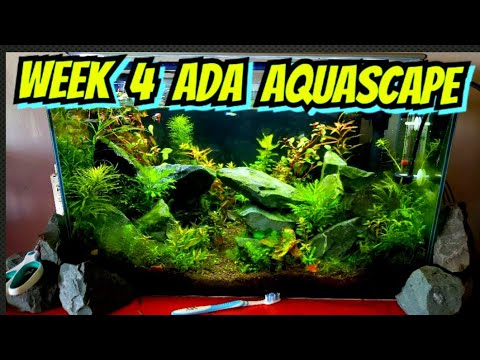 Week 4 – High Tech Planted ADA Style Aquascaped Aquarium – Plants, Shrimp, Fish & Algae