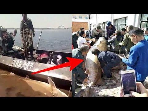 KAYA MENDADAK !! tangkap ikan Raksasa, Tak disangka di dalam perutnya ada ini…WOW Beruntungnya !!