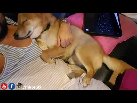 Snoring boi – Shiba Inu doge