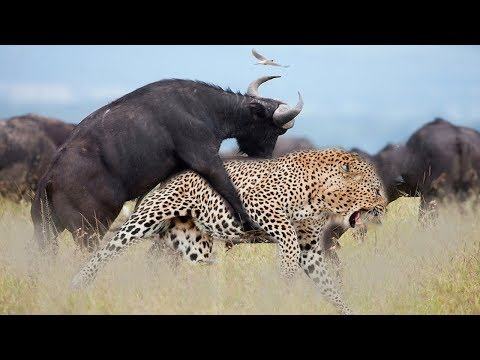 LIVE : National Geographic Animals – Craziest Animal Fights! – BBC Documentary Discovery Animals
