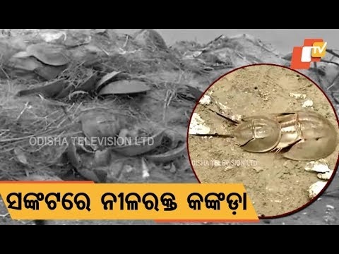 No place for breeding, horseshoe crabs in verge of extinction in Balasore