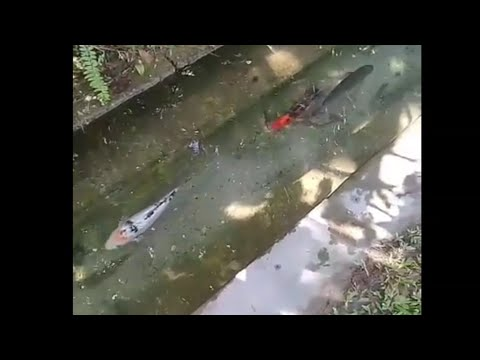 Viral Ingat Kat Jepun Je Ada Ikan Kat Longkang|Malaysia Pun Ada Rupanya
