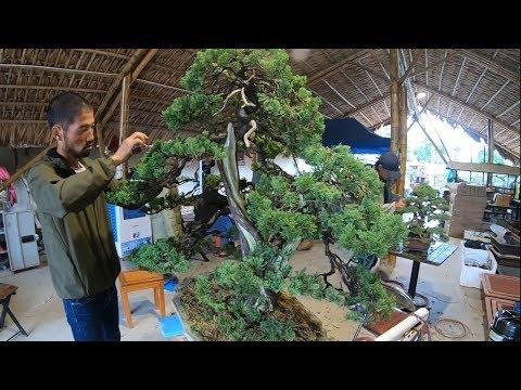 Xem nghệ nhân Nhật Bản làm bonsai ở Neo Garden Yên Dũng-Bắc Giang