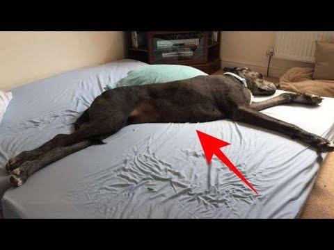 Anjing  ini tertidur di KASUR,.Ada yang ANEH,…Saat Didekati,..Semua KAGET,..WOW..!!
