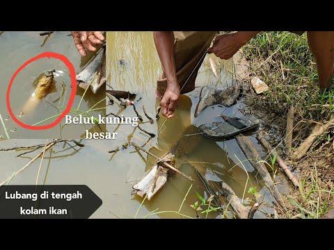 Strike belut kuning di lubang yang ada di tengah kolam
