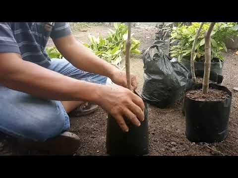 Ada dua cara potong cangkok saat menanam