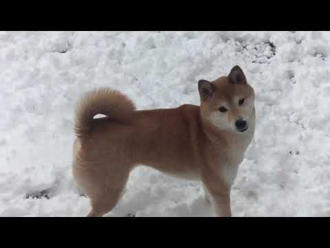 Little Doge playing in the snow ❄☃🐶