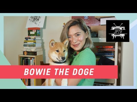 Introducing Bowie The Doge | Joyce Pring TV