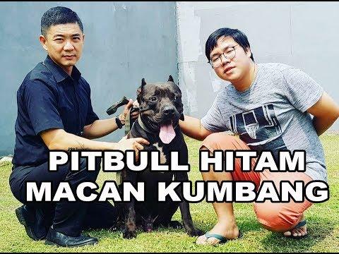 AWAS Ada Anjing Pitbull Hitam Mirip Macan Kumbang!!! Ngeri Banget!!!