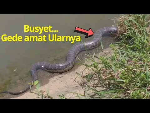 ASTAGA..!! Ada ular besar ikut  Menemani Saya Mancing