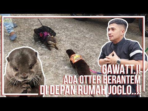 GAWAATT..! ADA OTTER BERANTEM DI DEPAN RUMAH JOGLO..!
