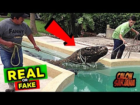 Apakah Ada Orang yang Memelihara Dinosaurus Sebesar Ini Didalam Rumah?! – Real or Fake!