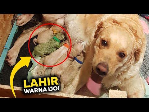 Ibu Anjing Golden Ini Melahirkan Anak Anjing Super Langka! Tidak Ada Kasus Seperti Ini Sebelumnya…