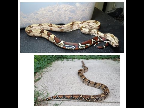 Boa constrictor.  BCI or BCC?!?