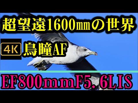 鳥瞳AFはここまで来た!EOS R5が可能にした「超望遠1600mm鳥瞳AF」の世界。